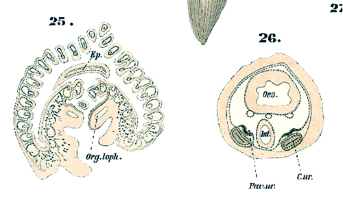 Phoronis euxinicola nomen nudum - possible synonym of