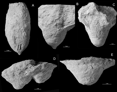 Distribution of Conichnus and Amphorichnus in the Lower ...